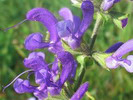 Kadulja, salvia Officinalis